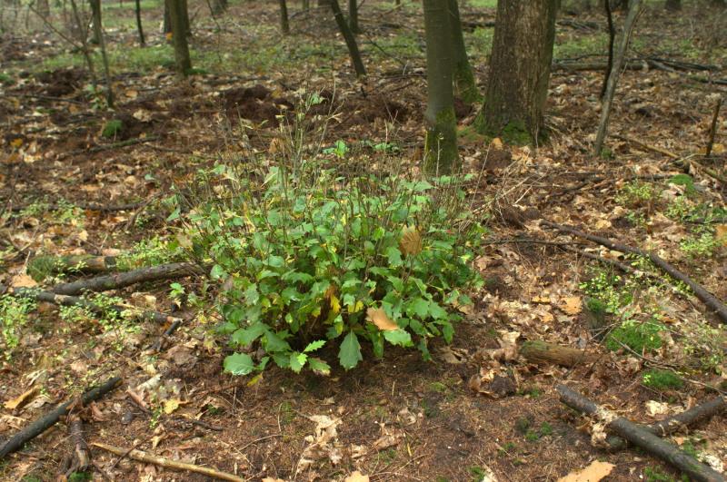 Prooidierdichtheid bepaalt de graasdruk en daarmee de overlevingskansen van boompjes en struiken – Foto: ©Yvonne Arentzen