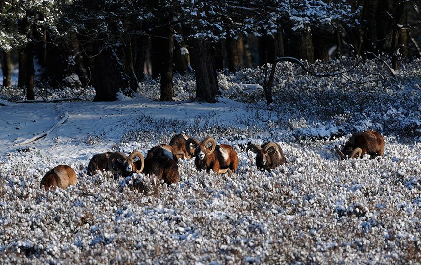 Een kudde moeflons trekt de heide op om hun buikjes te vullen – Foto: ©Louis Fraanje