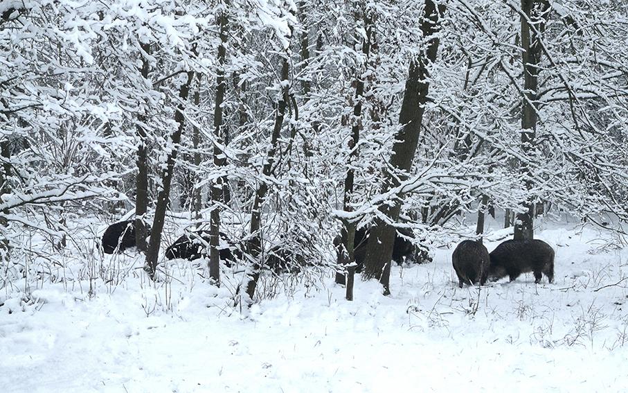De dieren trekken heel langzaam verder het bos in – Foto: ©Louis Fraanje