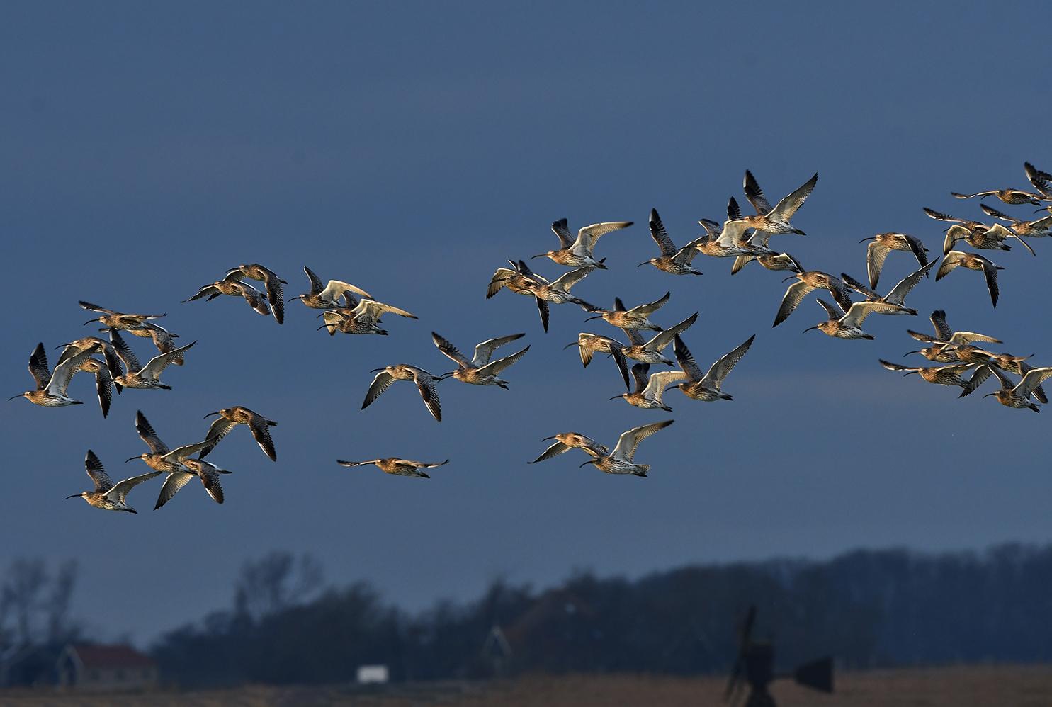 Kijk naar de vogels in de lucht.... een vlucht Regenwulpen – Foto: ©Louis Fraanje