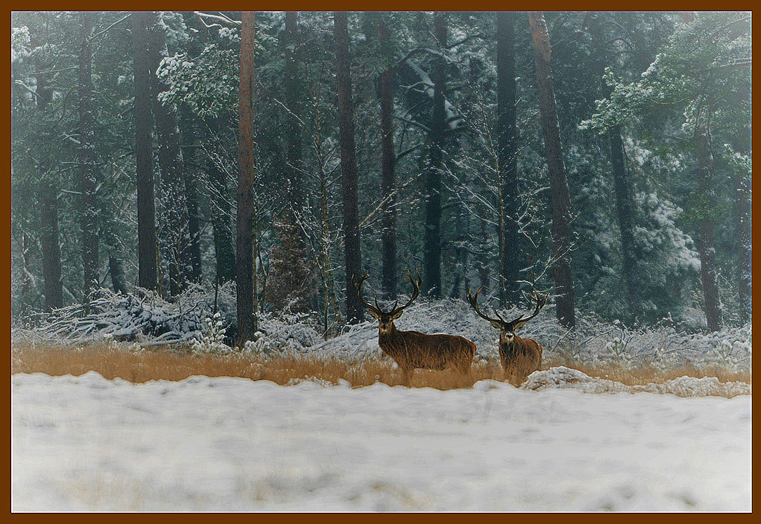 De twee edelherten aan de besneeuwde bosrand op de Veluwe – Foto: ©Louis Fraanje