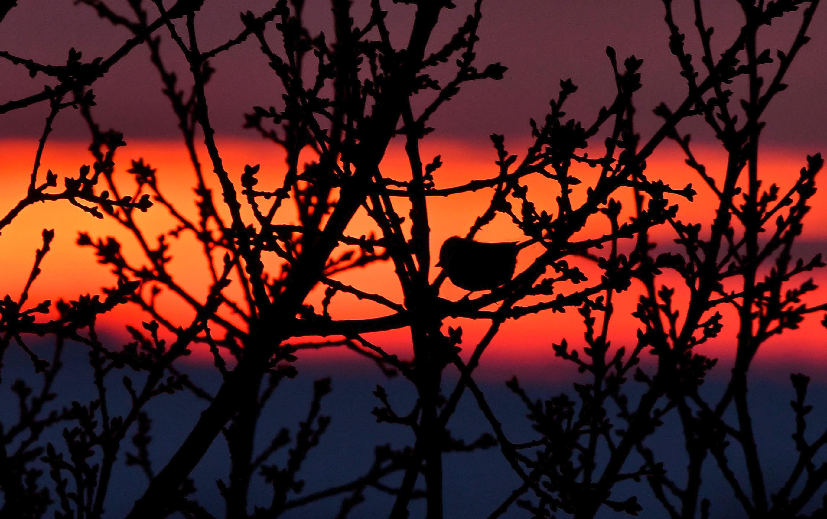 Het silhouet van de pimpelmees is nauwelijks zichtbaar tussen de wirwar van takken. - Foto: ©Louis Fraanje.