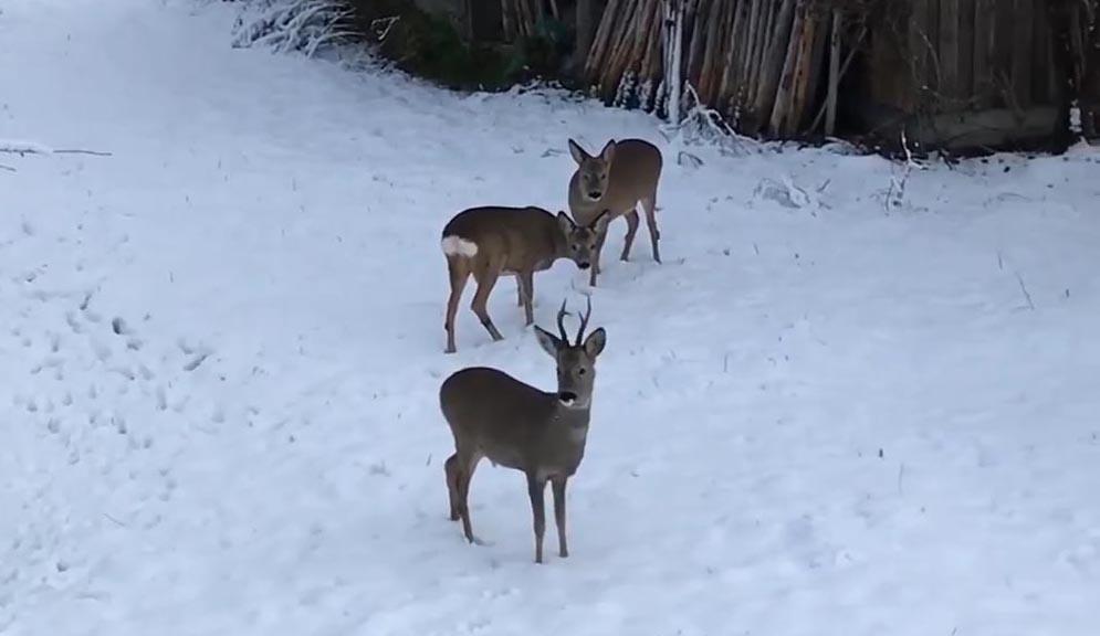 De jonge reekalveren jn de eerste sneeuw en hun grote broer Tolv - Foto: ©Susas Bobke