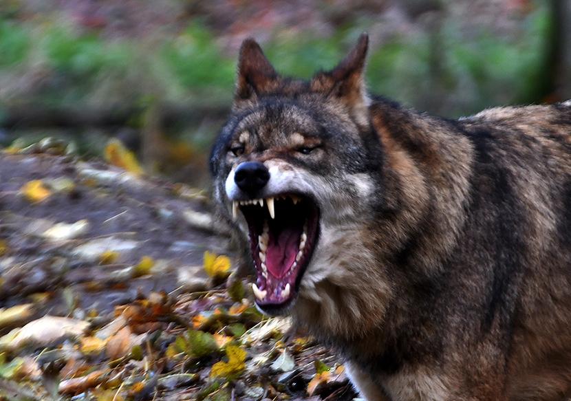 De wolf creëert een landschap van angst – Foto: ©Louis Fraanje