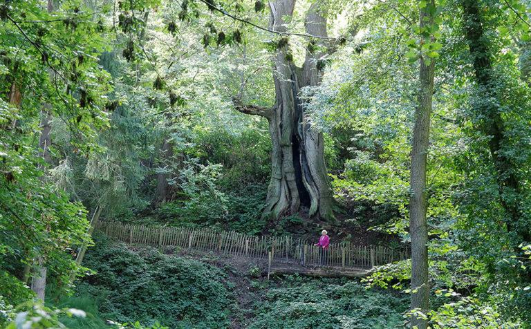 Kijk, hier staat de dikste boom van Nederland. Het is een tamme kastanje van ongeveer 400 jaar oud. De exacte leeftijd is niet te achterhalen, want de boom is hol van binnen. De boom wordt ook wel 'Kabouterboom' genoemd, want mensen die erbij staan lijken op kabouters. Tiny de Graaff staat erbij… – Foto: ©Gerrit de Graaff