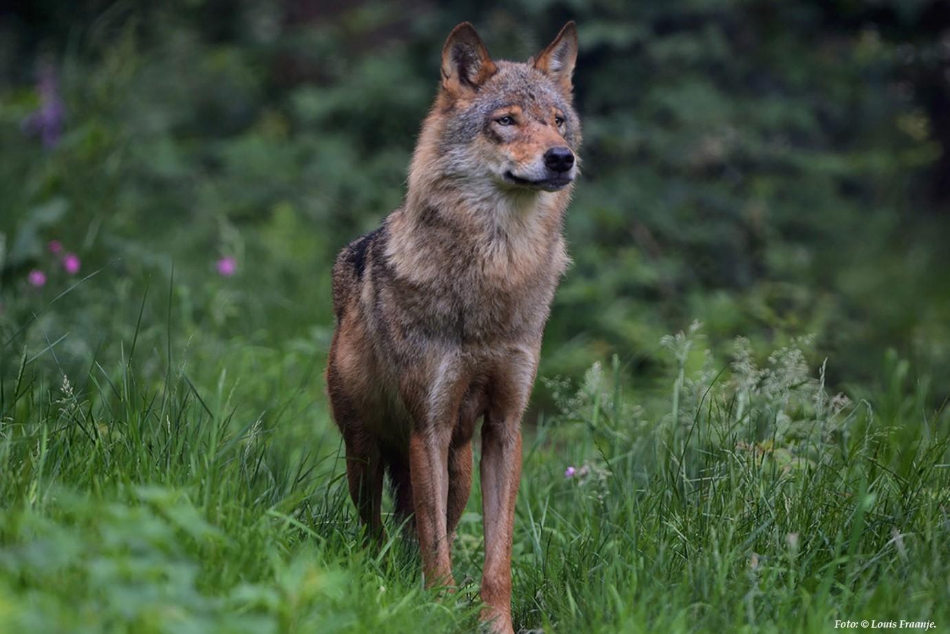 De wolf is na 150 jaar weer definitief terug in ons land. Zelfs de eerste jongen zijn in 2019 op de Noord-Veluwe geboren - Foto: ©Louis Fraanje.