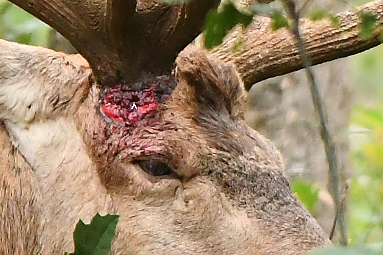 Met de verwonding van Hubertus strak onder de rechter rozenkrans (zie pijltje d.d. 16-aug-2019) is gelukkig alles weer goed gekomen -Foto: ©Ton Heekelaar.