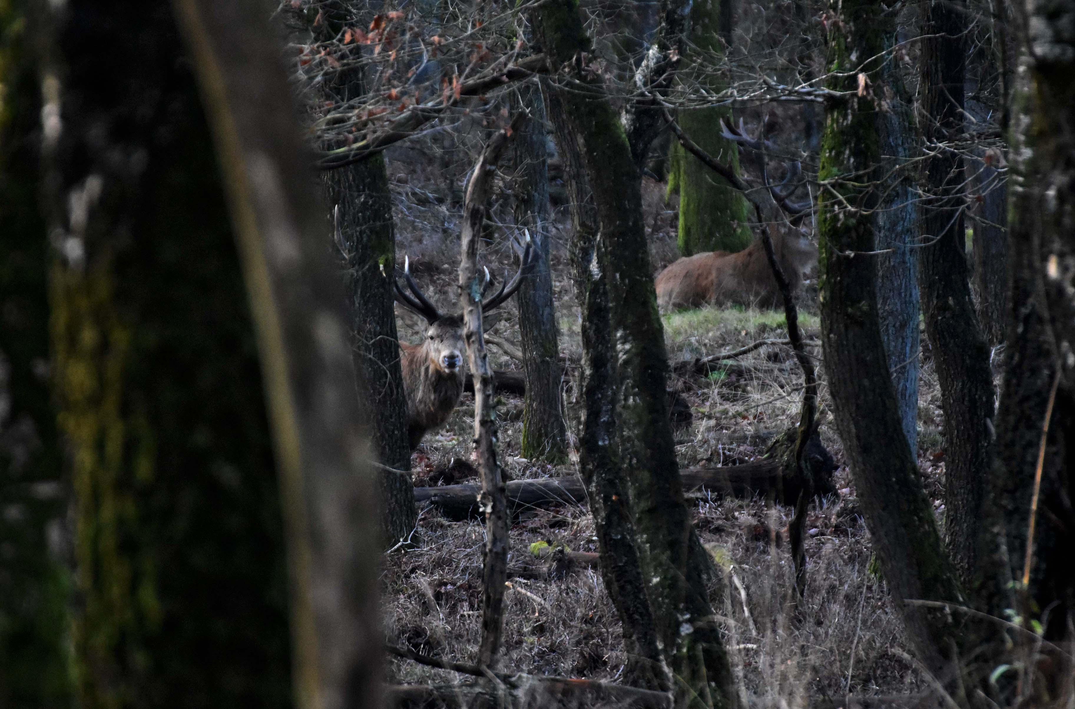 Tussen de wirwar van bomen zien we Hubertus en iets verder het andere hert – Foto: ©Louis Fraanje
