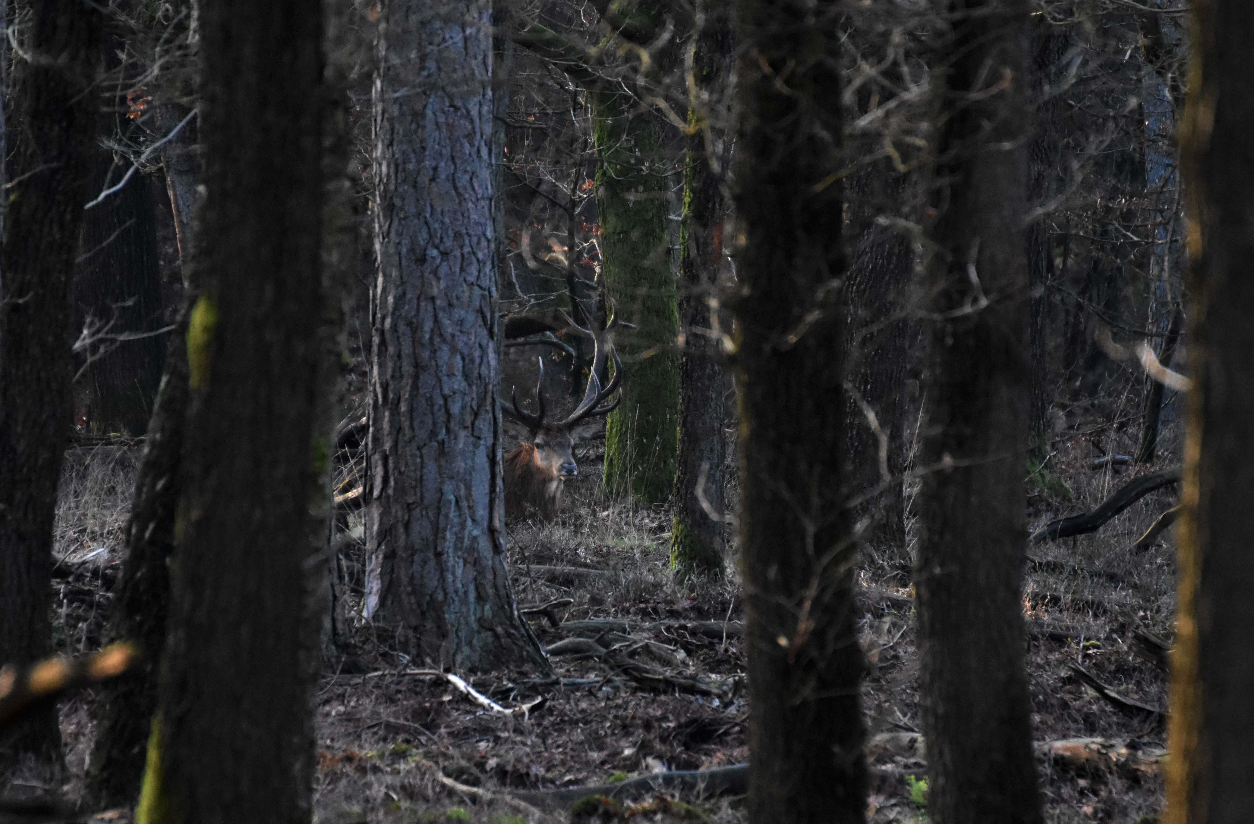 En een stukje verderop zit zijn 'maatje' rustig te herkauwen – Foto: ©Louis Fraanje