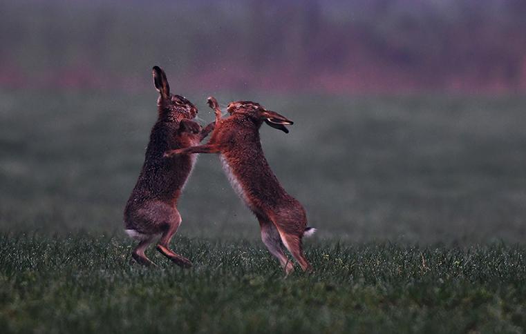 De hazen timmeren er alweer aardig op los in het veld, er komt weinig romantiek aan te pas! - Foto: ©Louis Fraanje