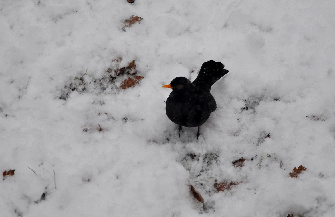 en een merel in de sneeuw - Foto's: ©Louis Fraanje