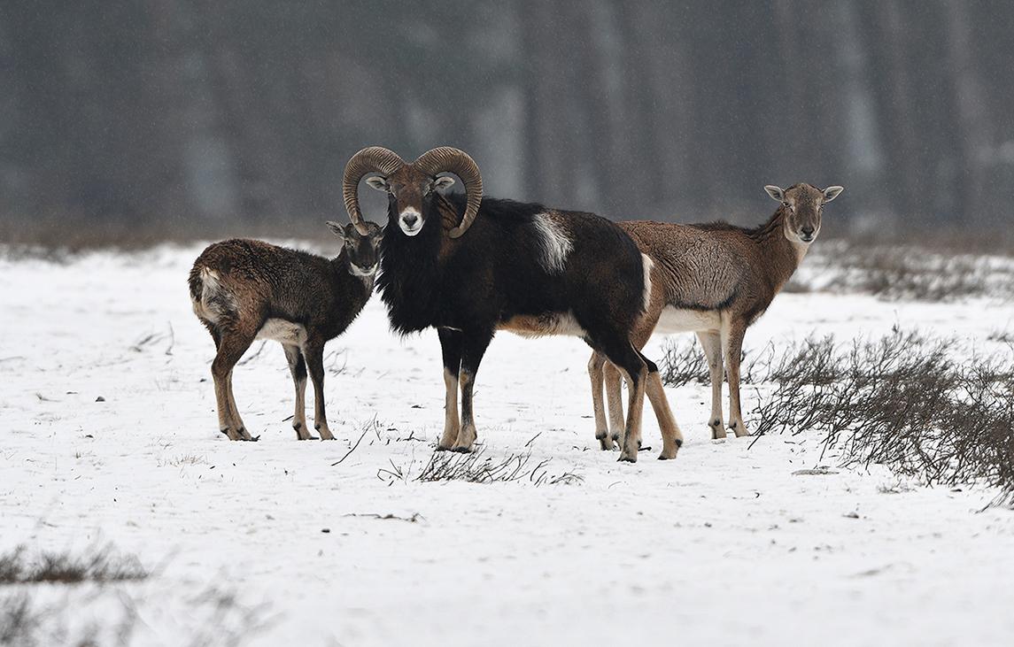 Een prachtige moeflonram en direct achter hem een ooi met lam – Foto: ©Louis Fraanje