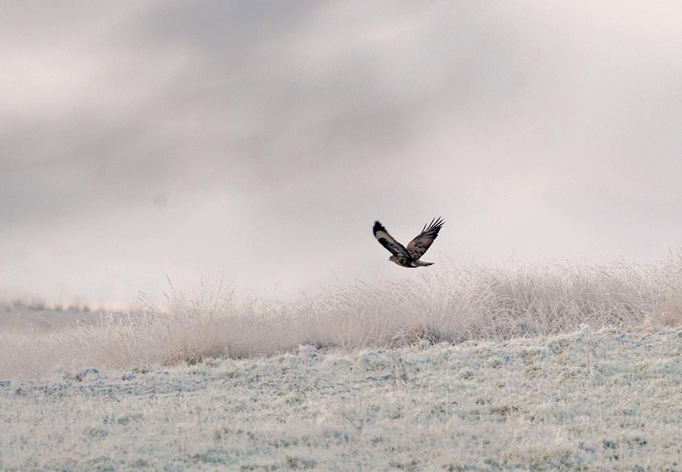 In de verte vliegt een buizerd laag over het wit-bevroren heideveld – Foto: ©Louis Fraanje