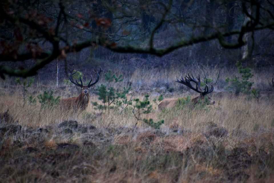 Hubertus loopt voorop en zijn 'maatje' er achteraan - Foto's: ©Henny van Soest
