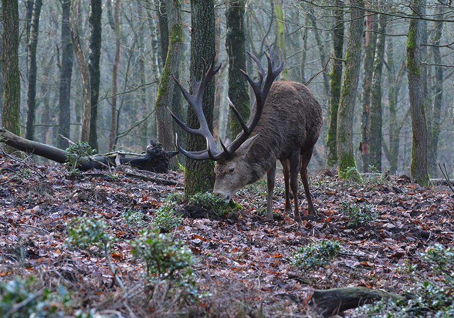 Hulst is - ondanks de scherpe kantjes - blijkbaar een lekkernij voor Hubertus - Foto: ©Florus van den Berg