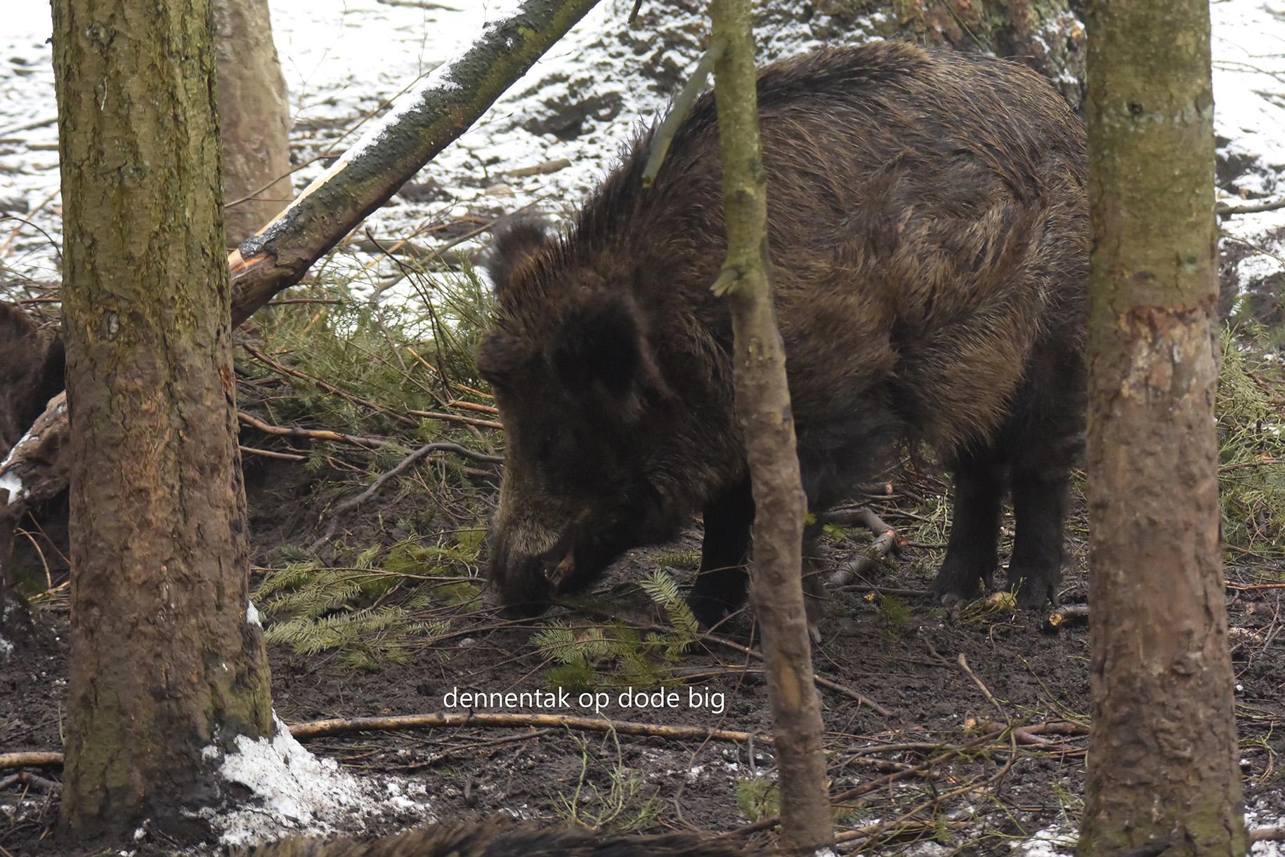 Het dode big is toegedekt met takken - Foto: ©Henry Kats