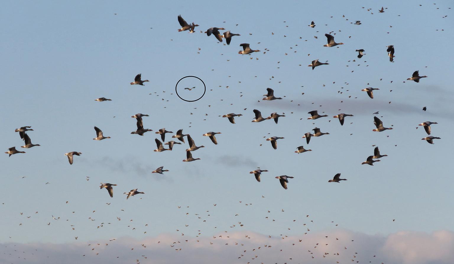 Al zoekend zag ik opeens een enorme roofvogel in mijn beeld die kennelijk de boel op stuipen gejaagd had