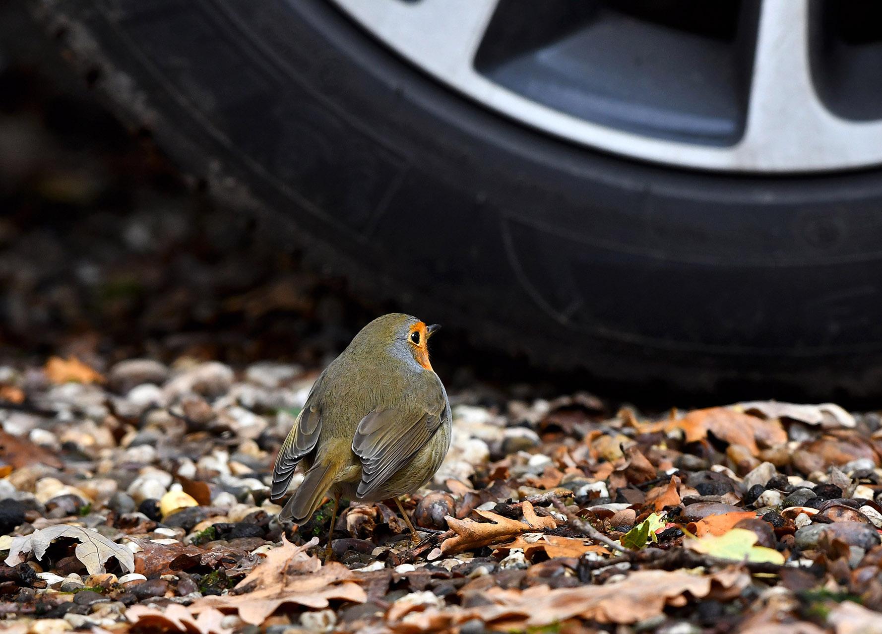 Naast het wiel van de auto zat een roodborstje - Foto: ©Louis Fraanje