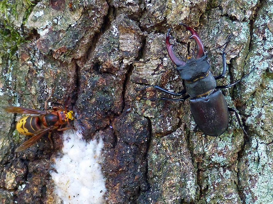Een Hoornaar(L) bij de vorstscheur en rechts het Vliegend hert - Foto: ©Henry Kats