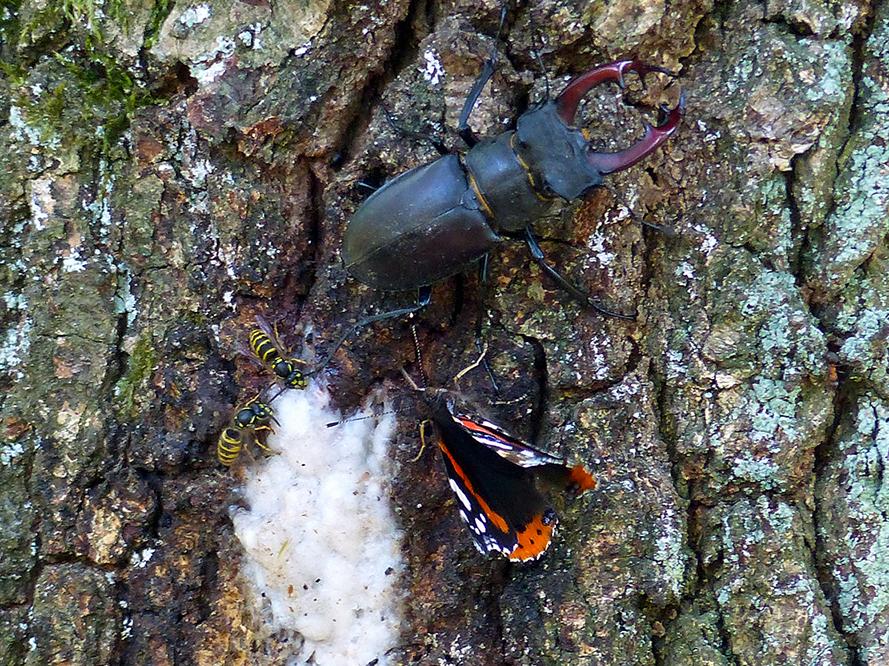 Even later kwam er ook nog een Atalanta vlinder bij zitten - Foto: ©Henry Kats