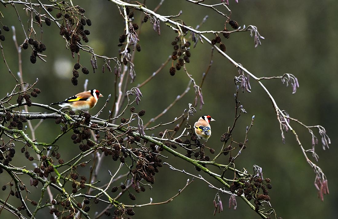Kleurrijke Putters tussen de elzenproppen - Foto: ©Louis Fraanje