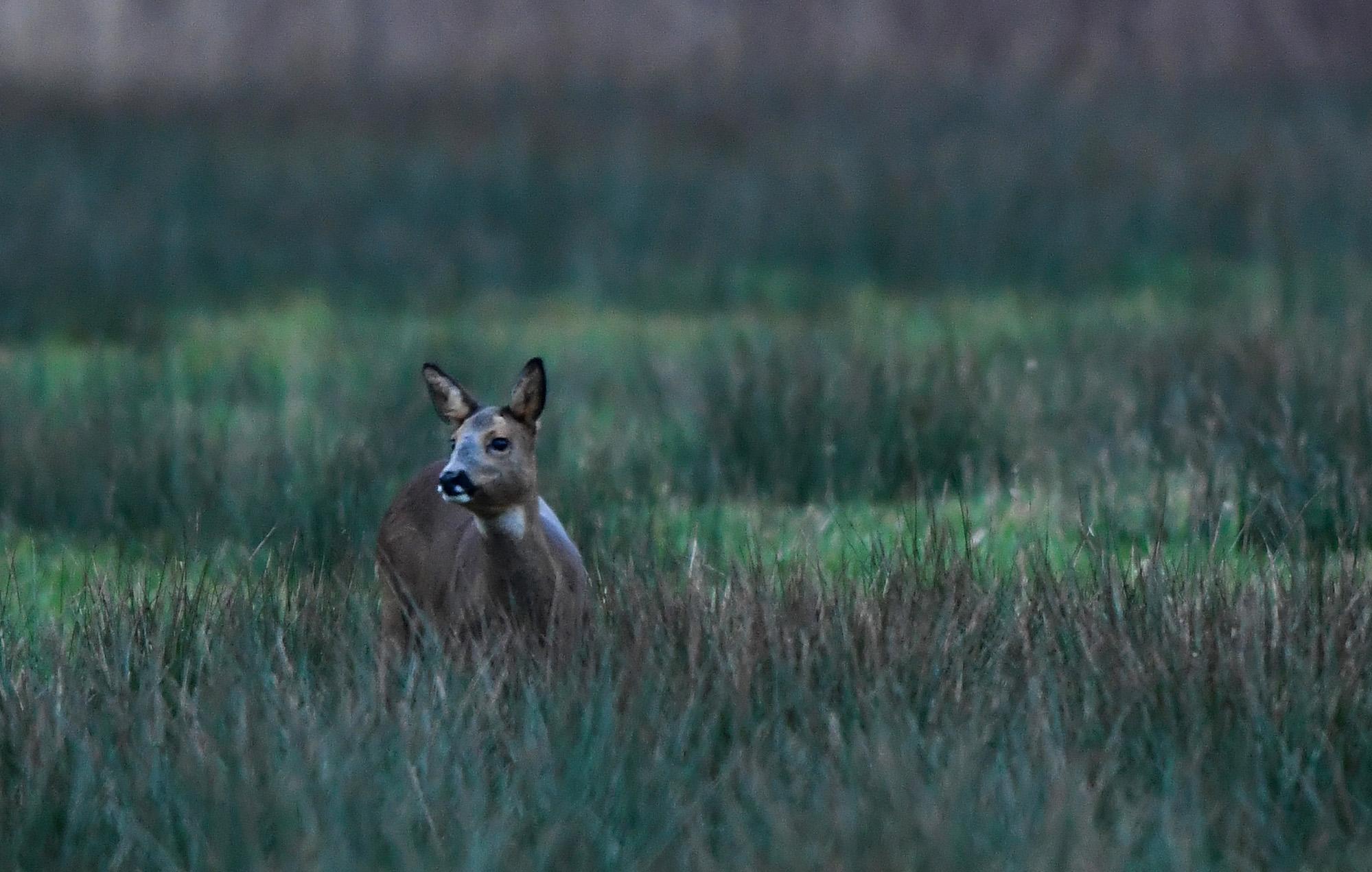 Het duurt niet lang of ook de geit komt tevoorschijn - Foto: ©Louis Fraanje
