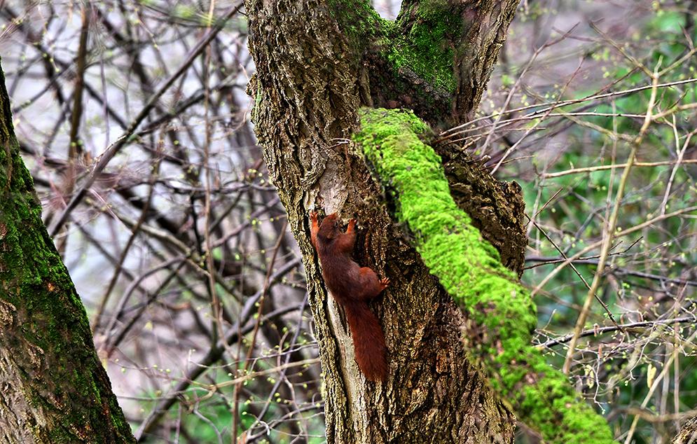 De eekhoorn grijpt zich vast en klautert verder omhoog - Foto: © Louis Fraanje