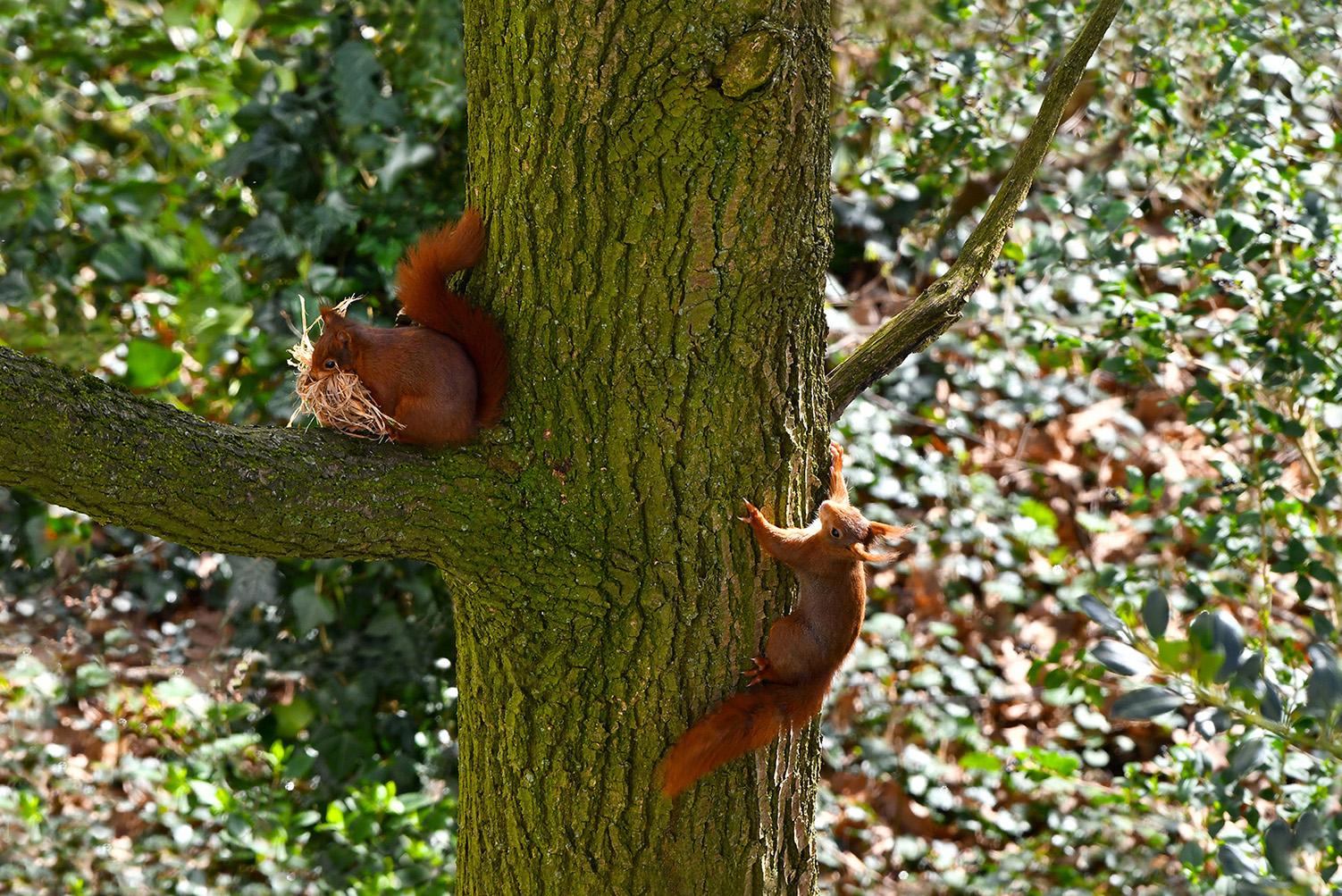 Binnen de kortste keren hing manlief alweer vlak in de buurt aan de boomstam - Foto:©Louis Fraanje
