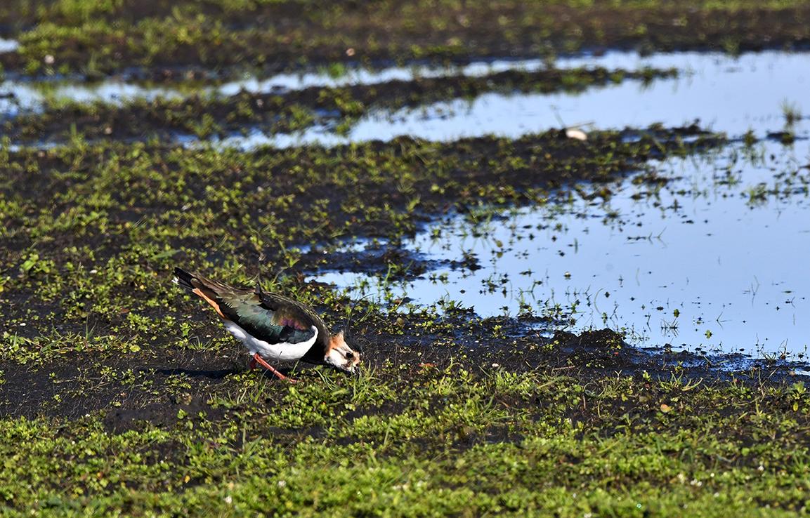 De vogel was zo ijverig aan het voedsel zoeken - Foto: ©Louis Fraanje