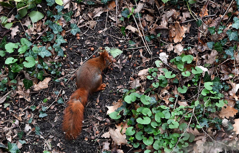 De eekhoorn heeft een aantal eikels ontdekt - Foto: ©Louis Fraanje