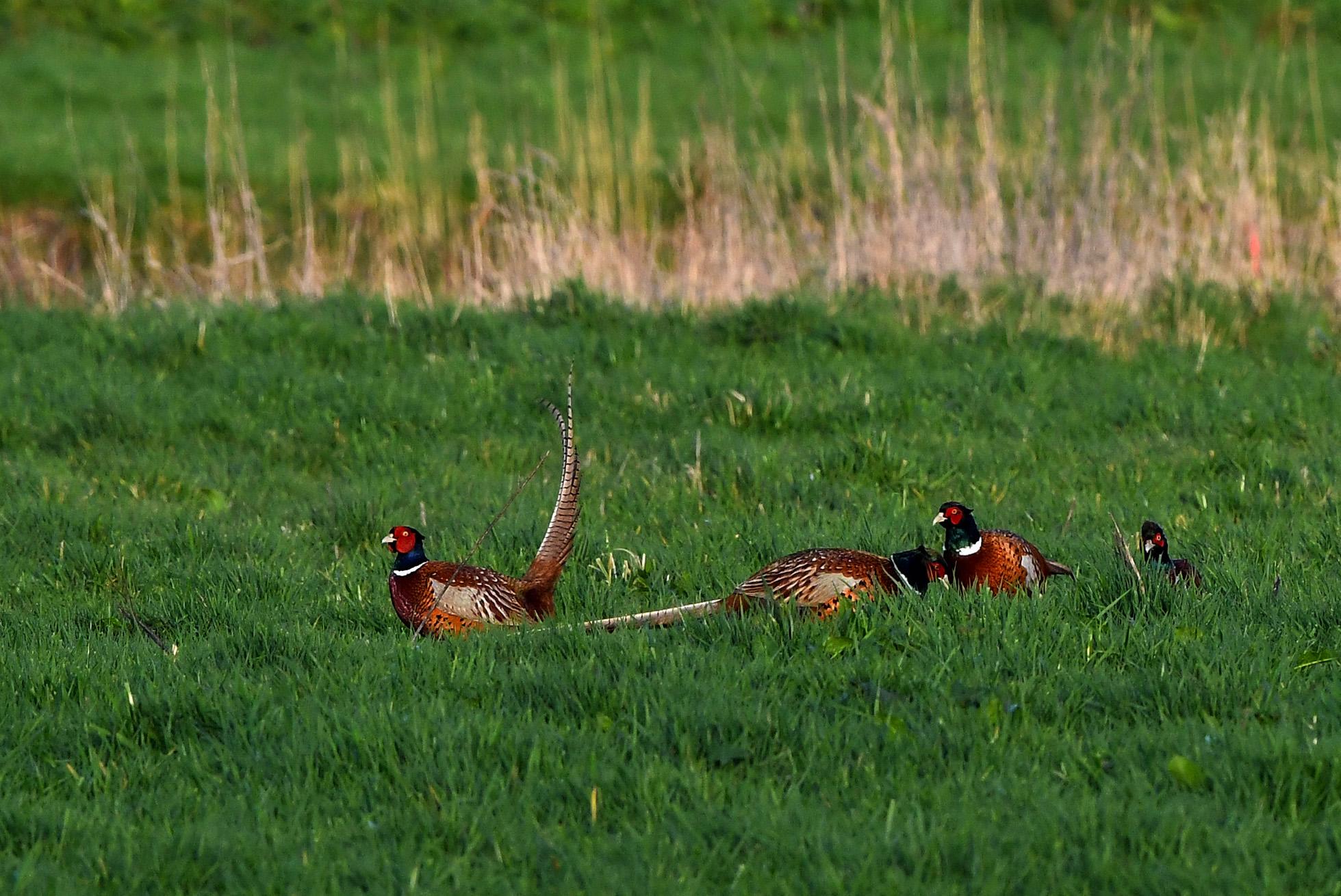 Enkele fazantenhanen hadden blijkbaar iets bijzonders ontdekt - Foto: ©Louis Fraanje