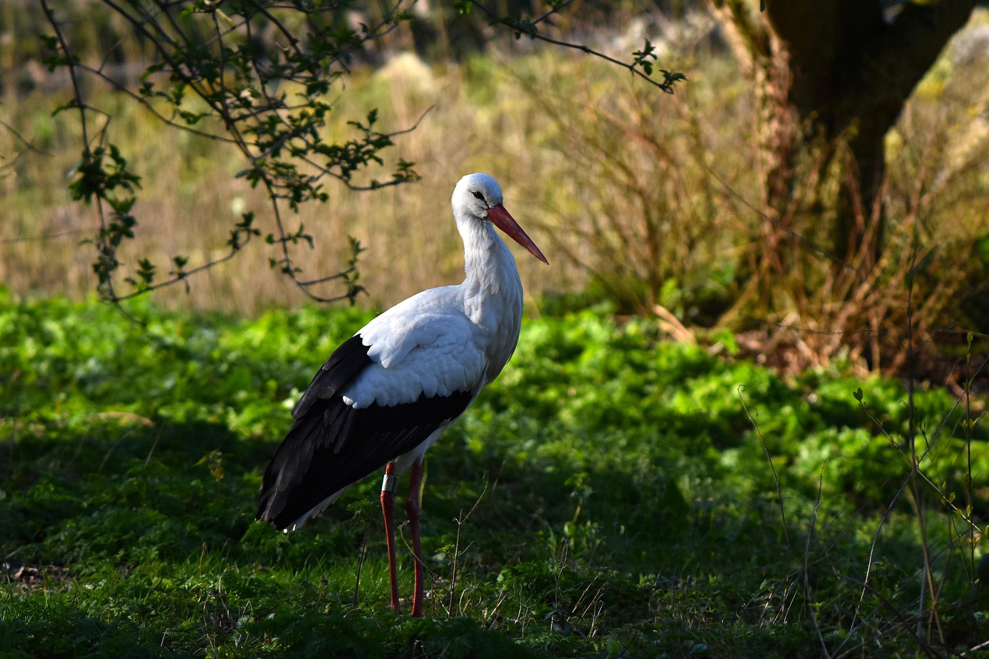 De ooievaar is op zoek naar bouwmateriaal voor het nest - Foto: ©Louis Fraanje