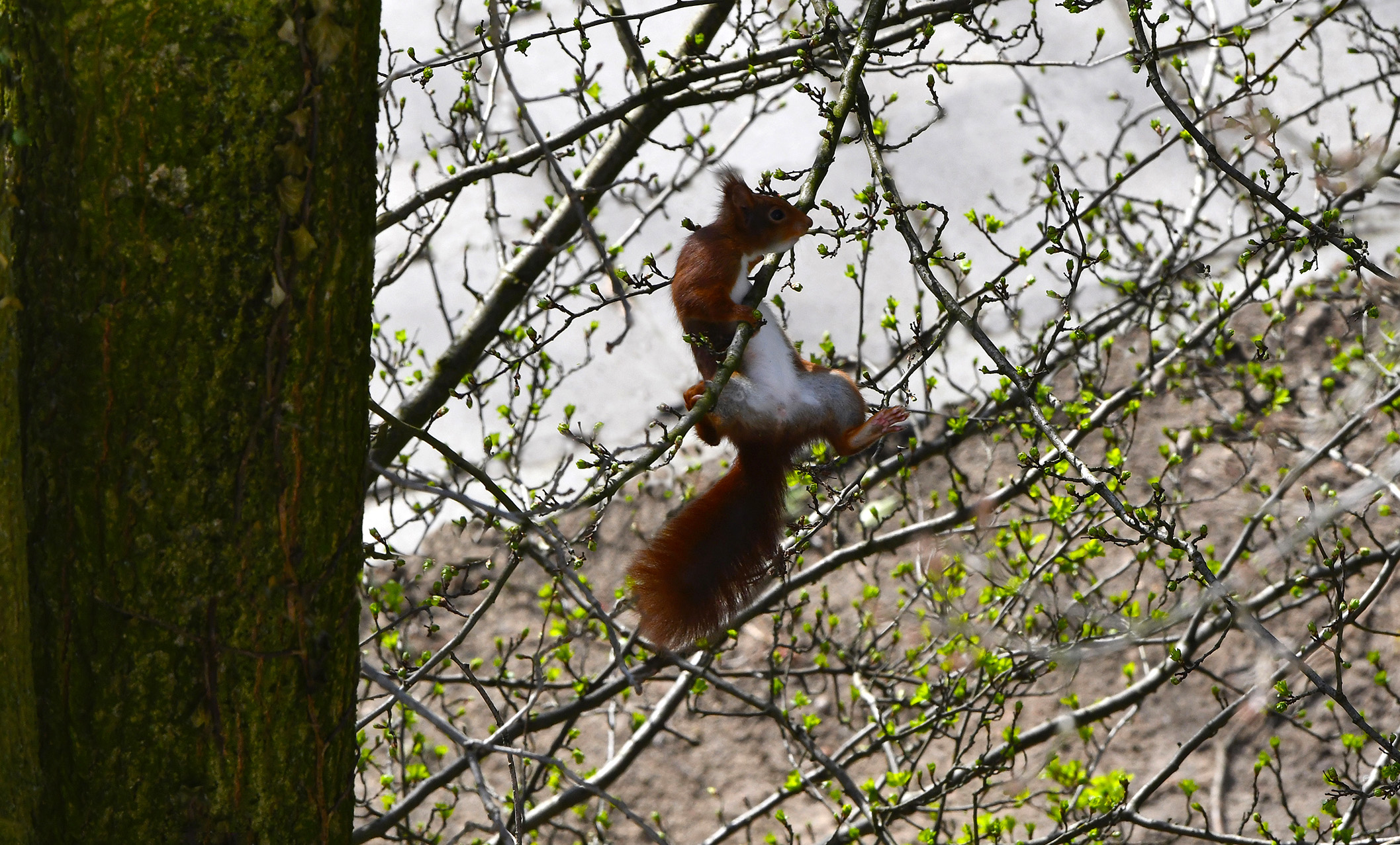 De eekhoorn springt als een volleerde acrobaat en zwevend van tak naar tak - Foto: ©Louis Fraanje