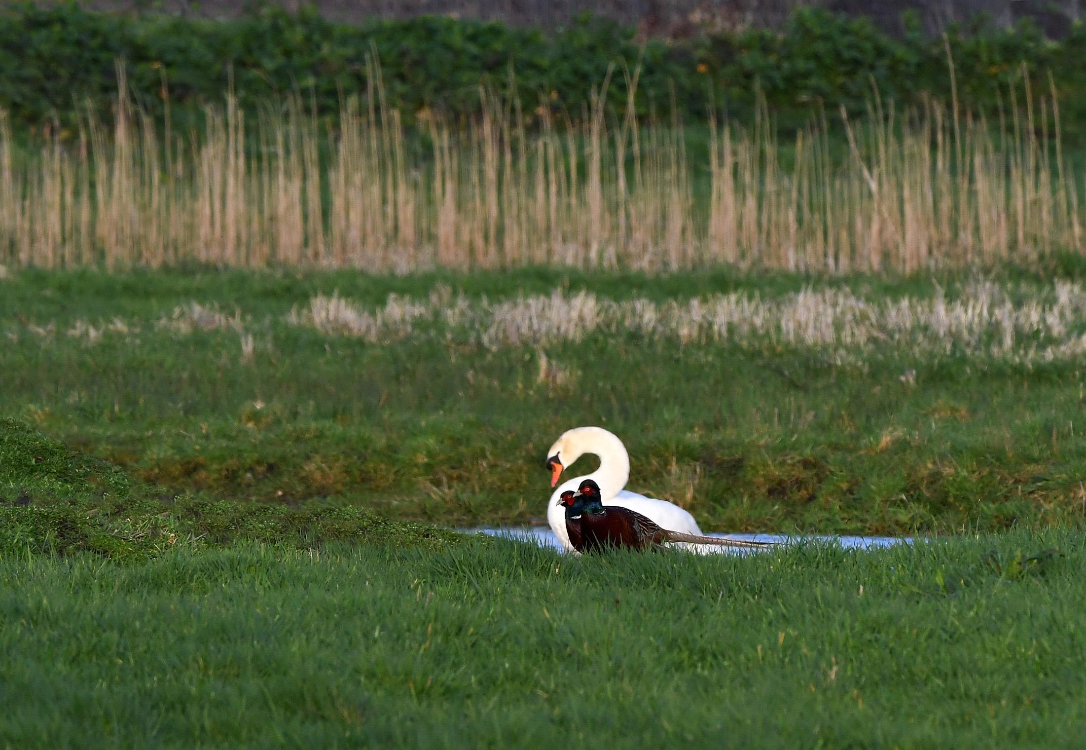 Vanmiddag in het veld, zit er een knobbelzwaan in een plas, komen er twee fazanten voorbij wandelen - Foto: ©Louis Fraanje