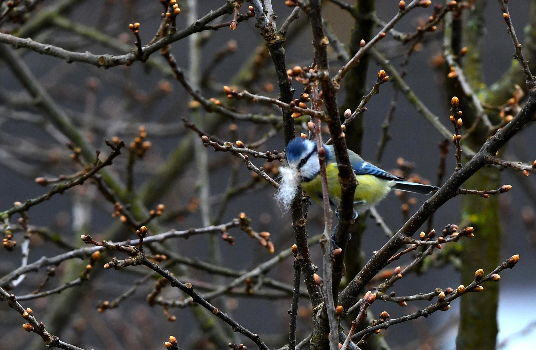 Pluisje na pluisje wordt ingevlogen, om het nest maar zo warm mogelijk zien te krijgen - Foto: ©Louis Fraanje