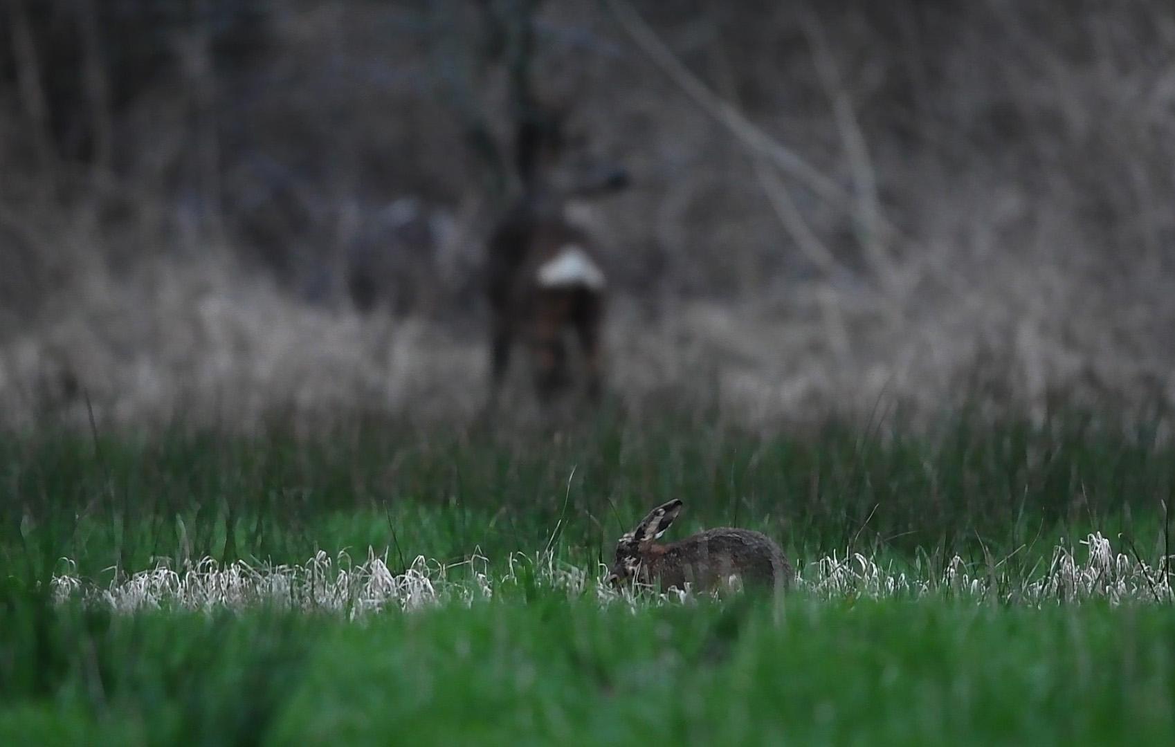 Dan ontdekken we een haas op de voorgrond in het gras - Foto: ©Louis Fraanje
