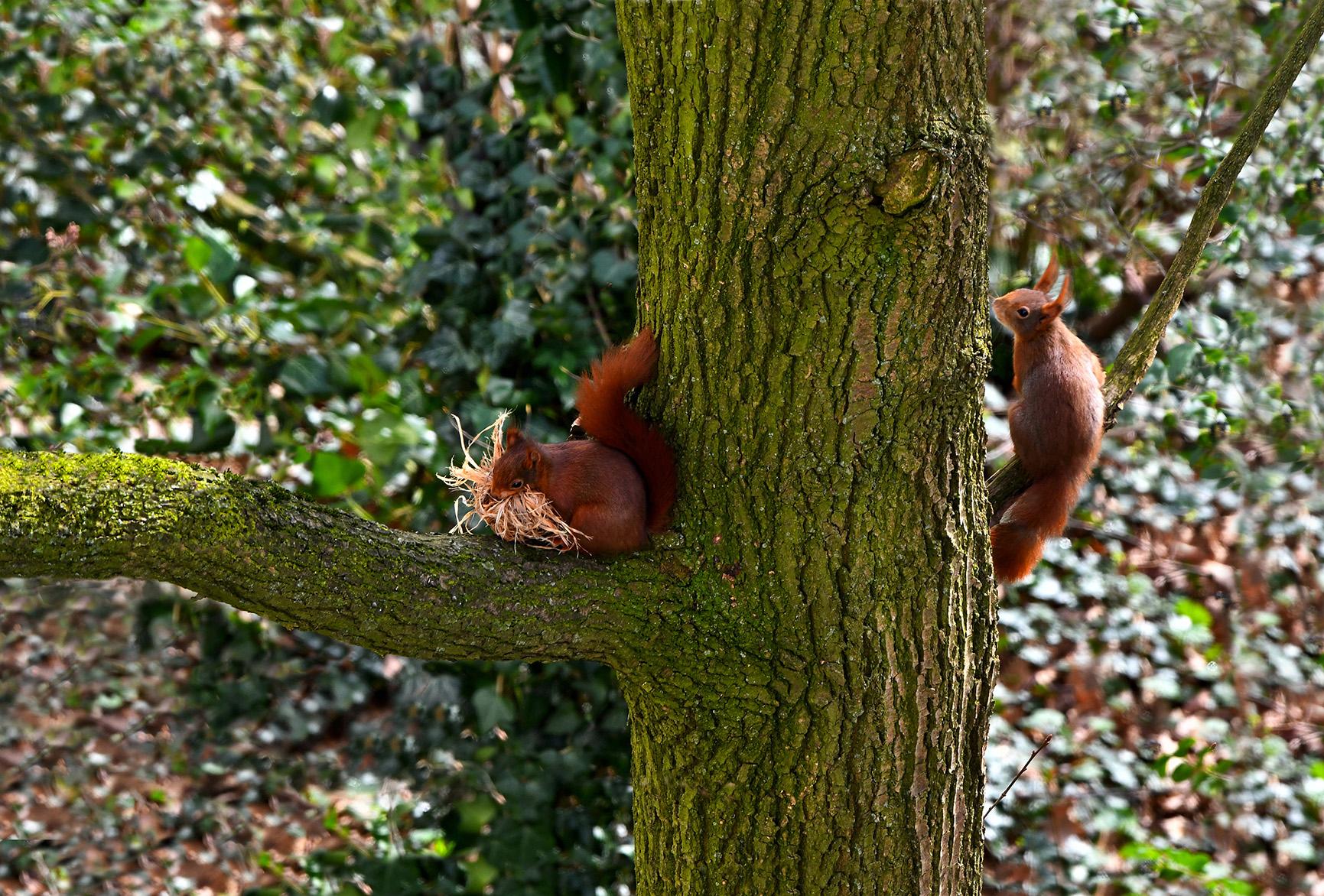 Zittend op de smalle boomtak, berekend hij van daaruit zijn kansen - Foto: ©Louis Fraanje