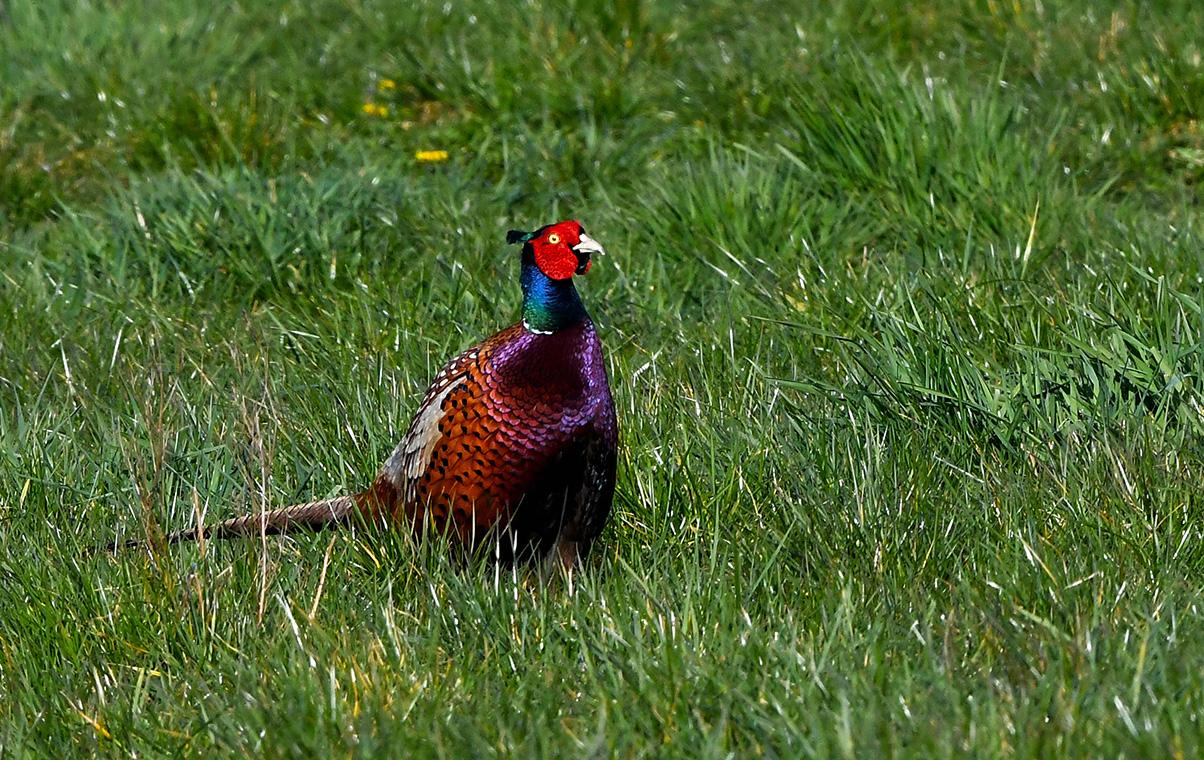 De kleurrijke fazantenhaan is momenteel op zijn mooist - Foto: ©Louis Fraanje