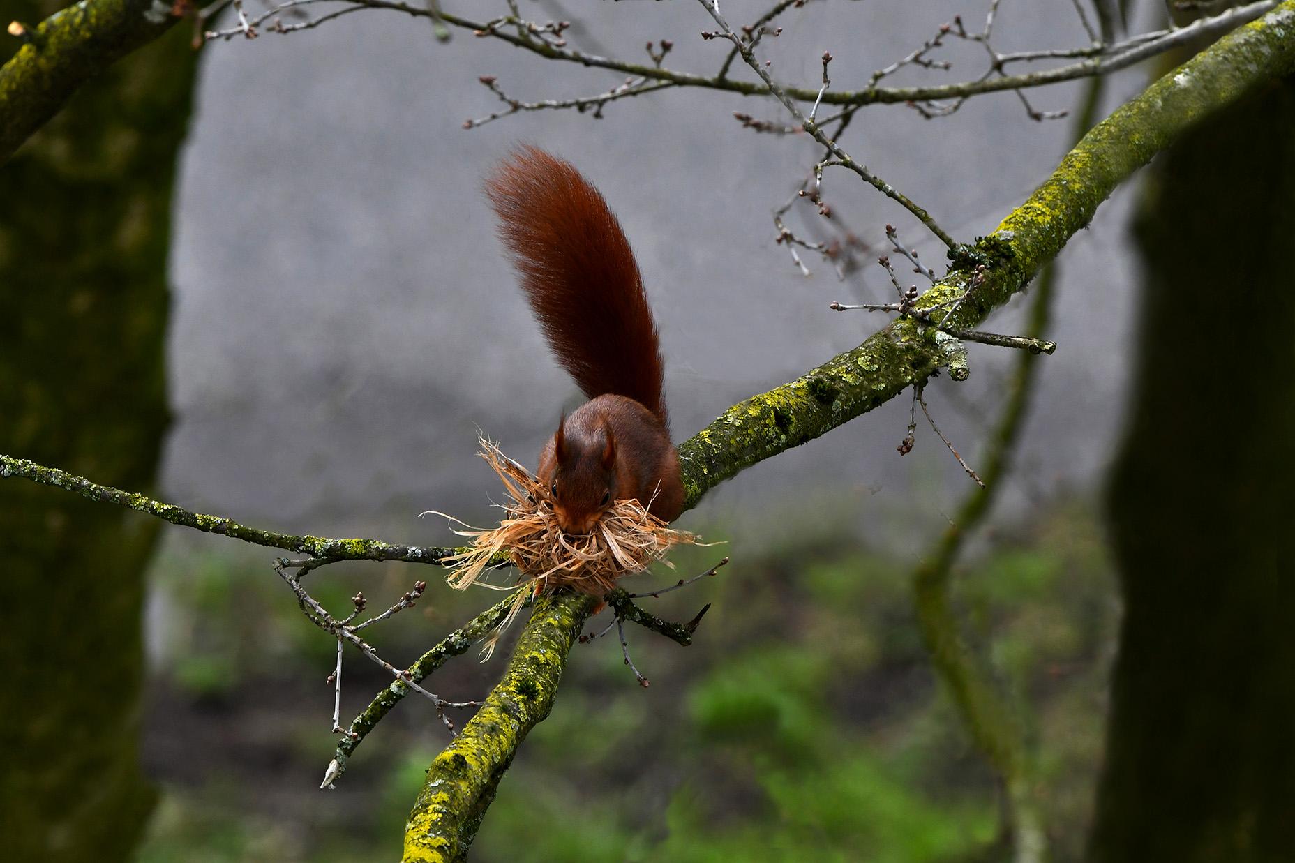 Ze komt aangehuppeld over een dikke tak, met in haar bek een grote prop droog gras - Foto: ©Louis Fraanje
