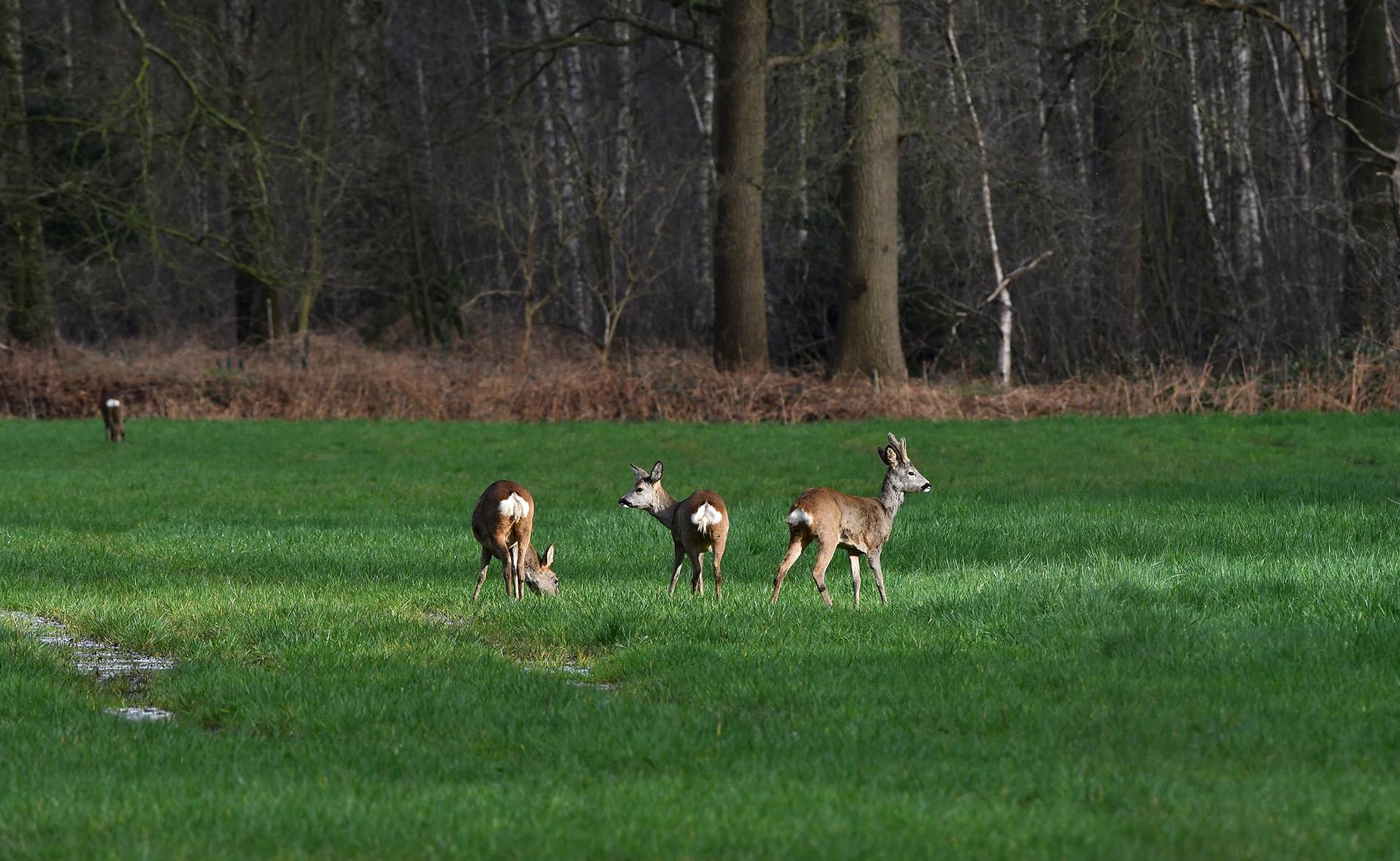 En wat dichterbij lopen twee geiten en een reebok in het laatste zonlicht - Foto: ©Louis Fraanje