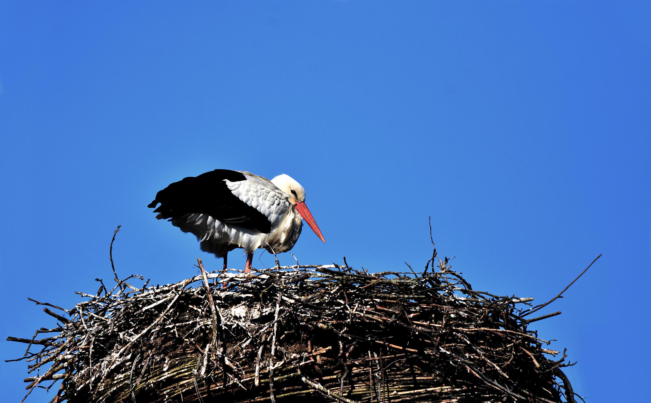 Keurende blikken van het vrouwtje op het nest, in afwachting van nieuwe aanvoer - Foto: ©Louis Fraanje