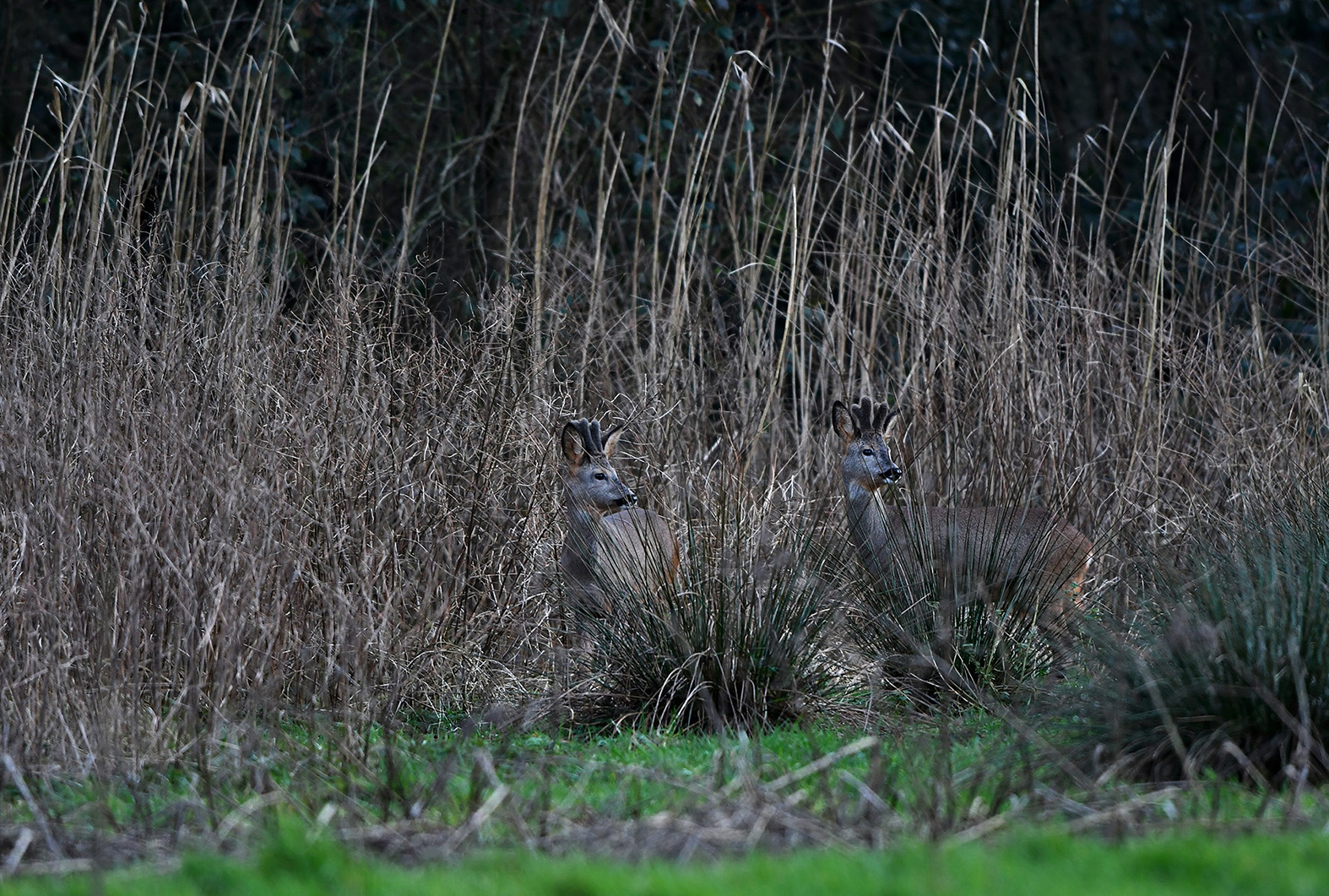 Een mooi gezicht om de twee jonge reebokken zo te zien staan tussen het riet - Foto: ©Louis Fraanje