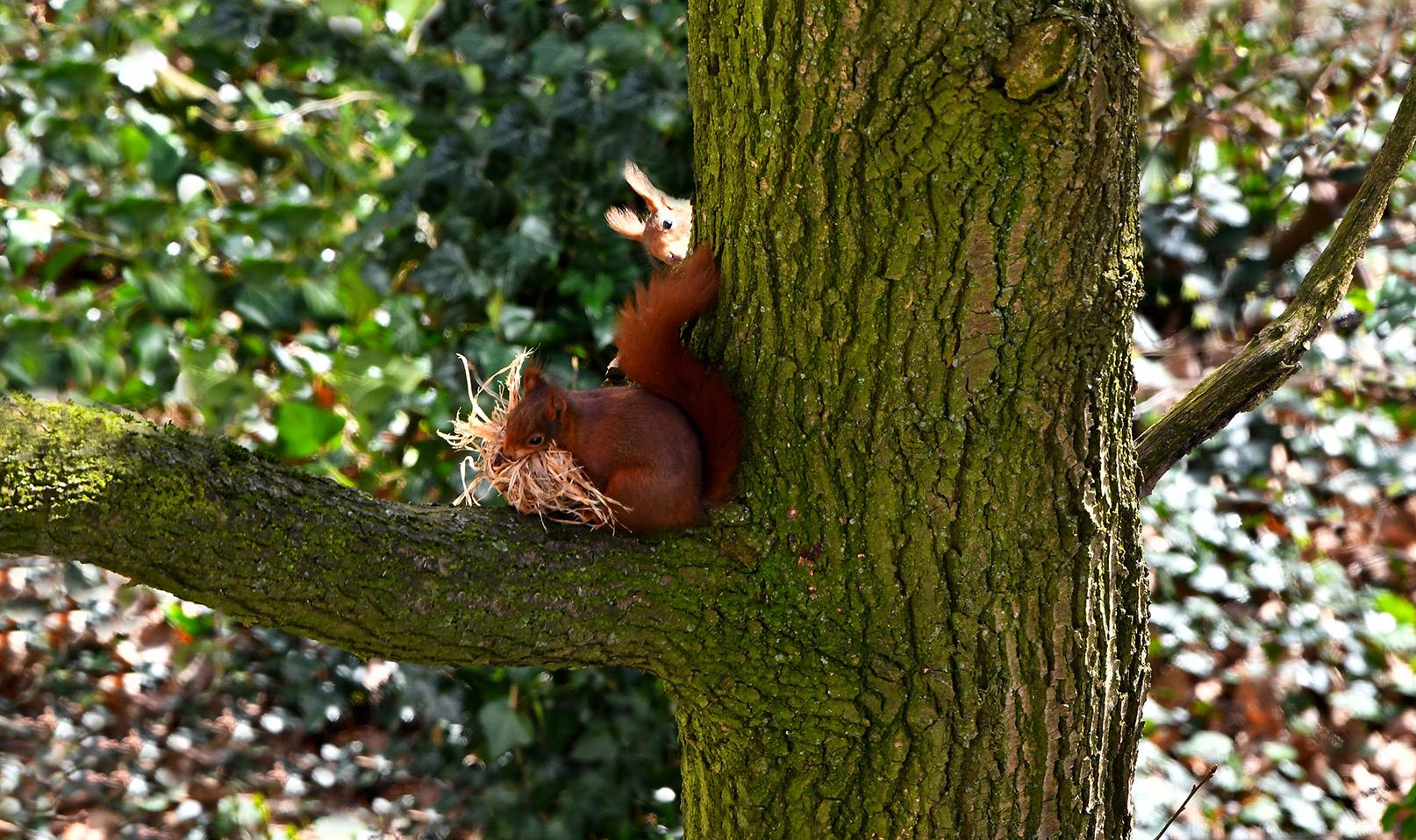 De kop van het mannetje is nog net zichtbaar boven de staart - Foto: ©Louis Fraanje