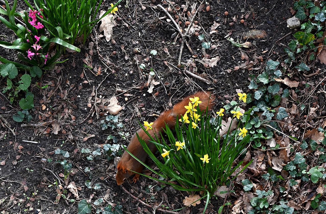 De eekhoorn gaat weer verder op zoek naar iets eetbaars - Foto: ©Louis Fraanje