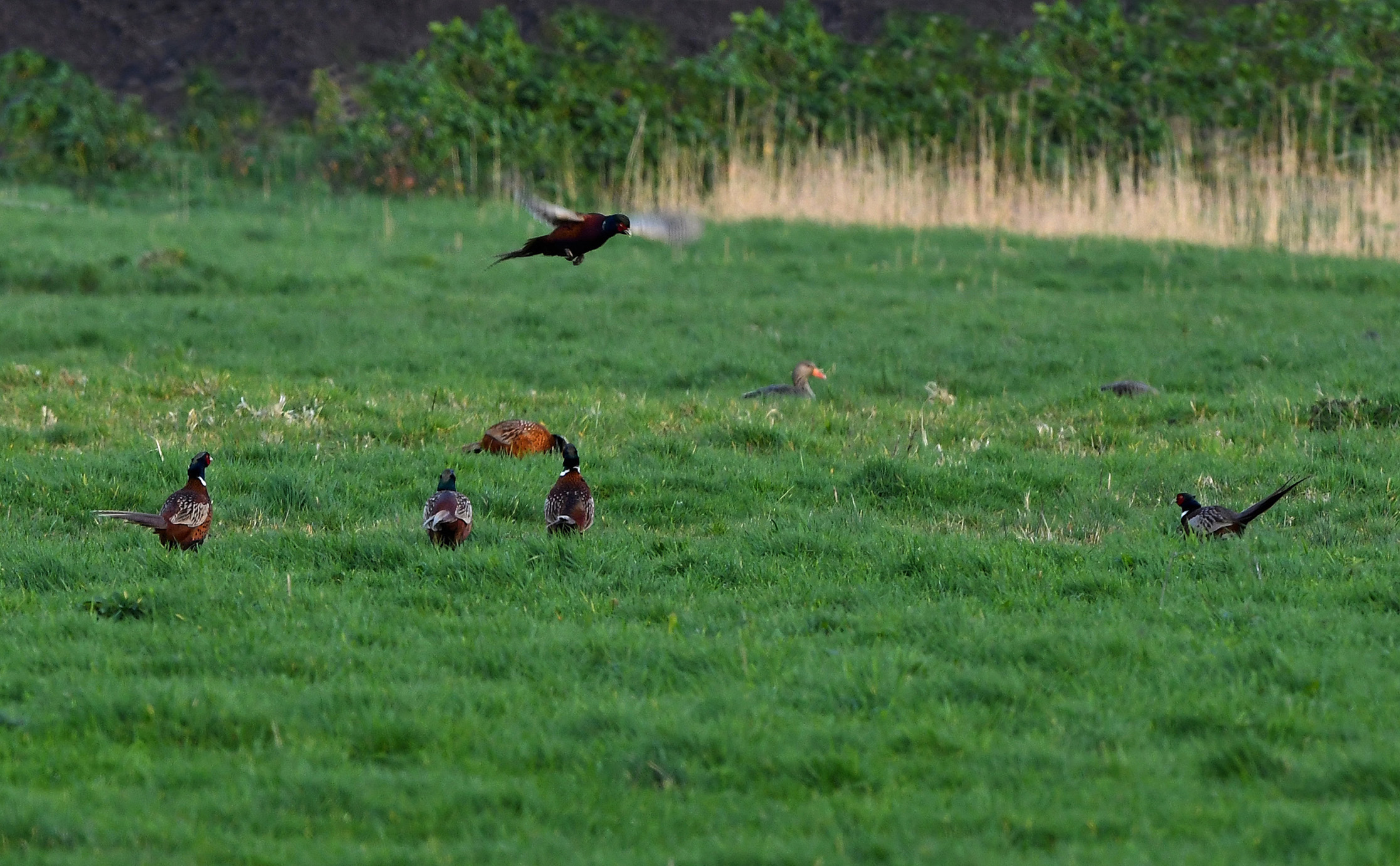 Er vallen steeds meer hanen in op de verzamelplek - Foto: ©Louis Fraanje