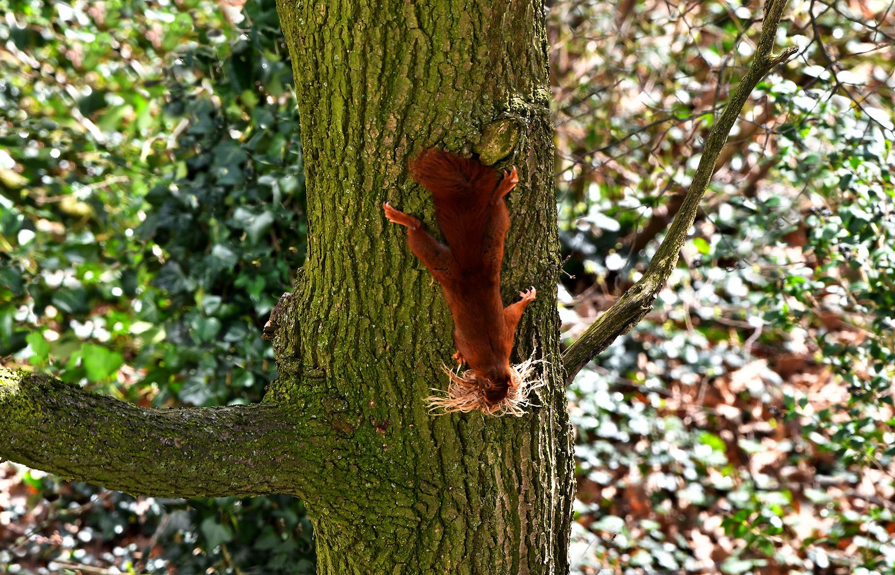 Zo maakt ze uiteindelijk een landing op een oude eikenboom - Foto: ©Louis Fraanje