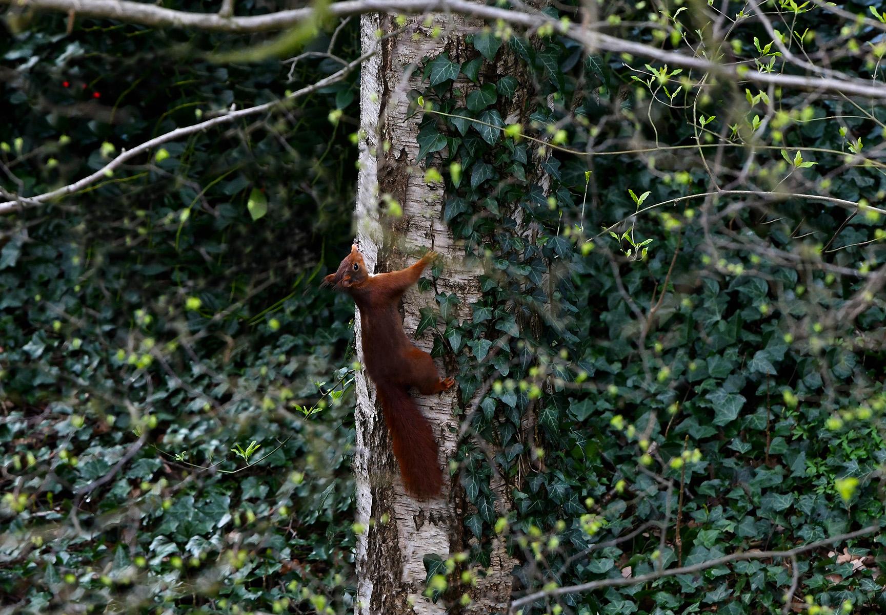 Halverwege blijft hij even hangen en kijkt een tijdje omhoog, net of hij iets ontdekt heeft...- Foto: ©Louis Fraanje