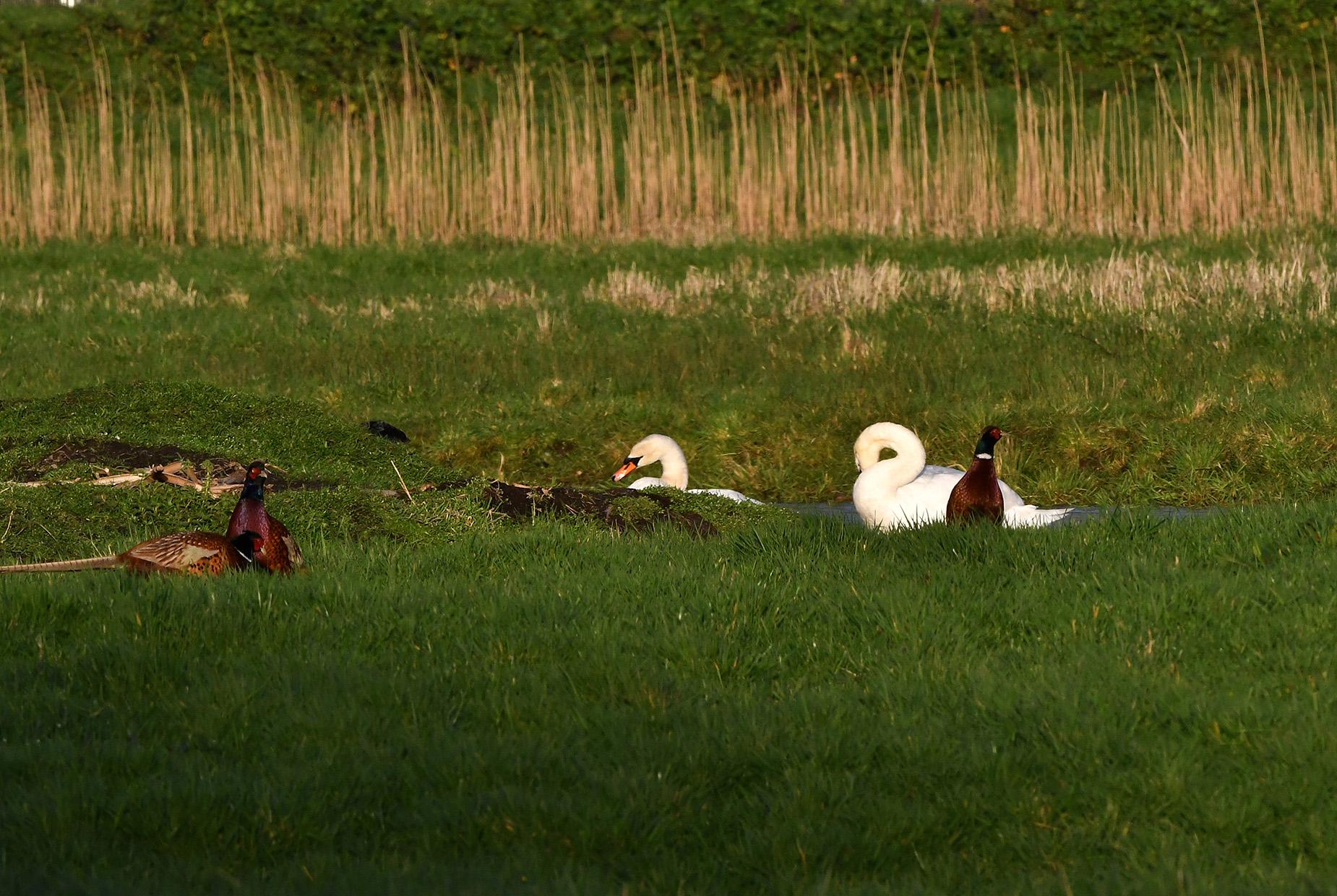 Steeds meer fazanten strijken neer in de buurt van de knobbelzwanen - Foto: ©Louis Fraanje