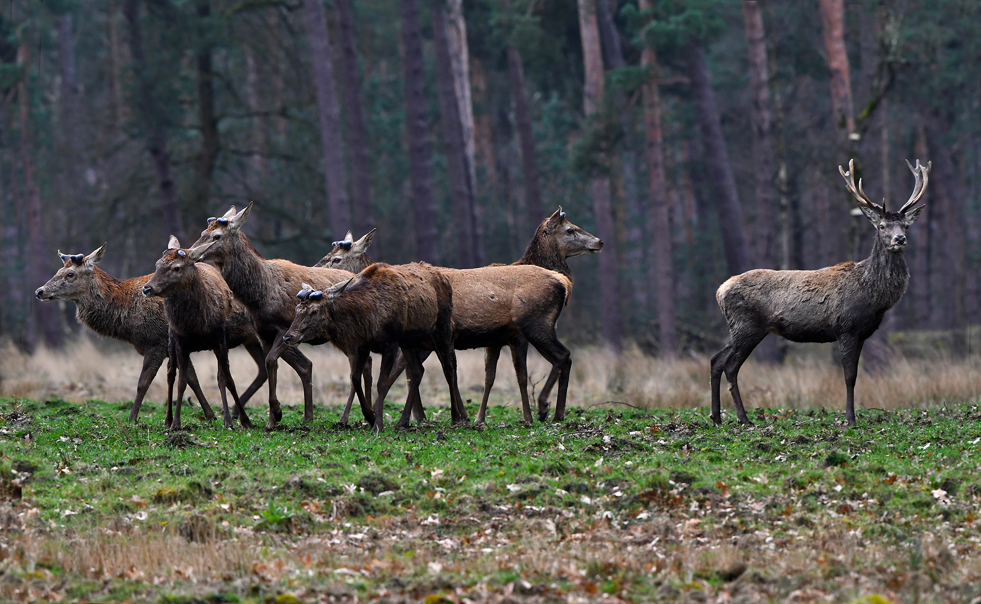 Helemaal rechts staat nog een jonger hert, die werpt pas later zijn gewei af - Foto: © Louis Fraanje
