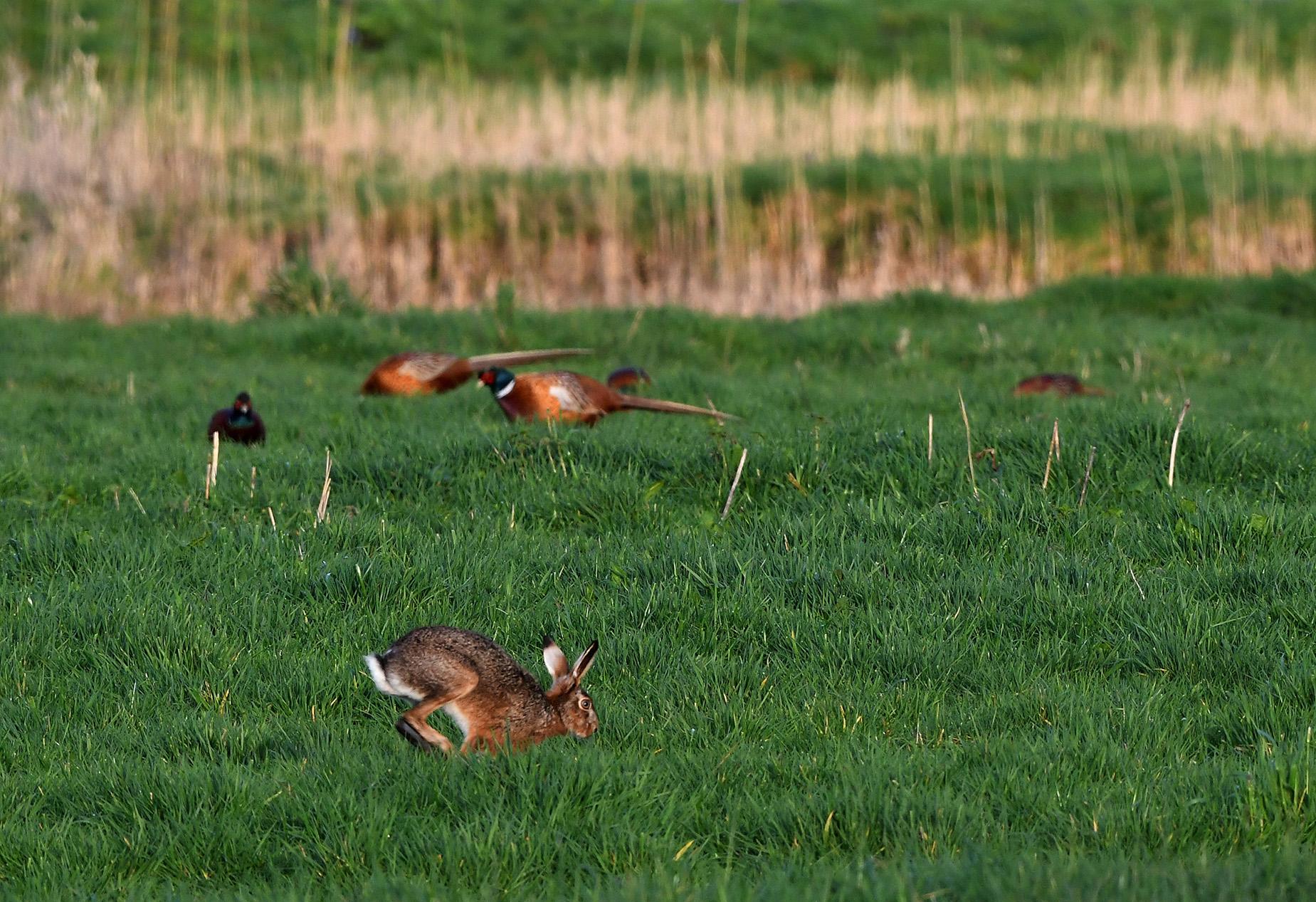 Door al dat spektakel van de fazanten gaat deze haas er maar vandoor - Foto: ©Louis Fraanje